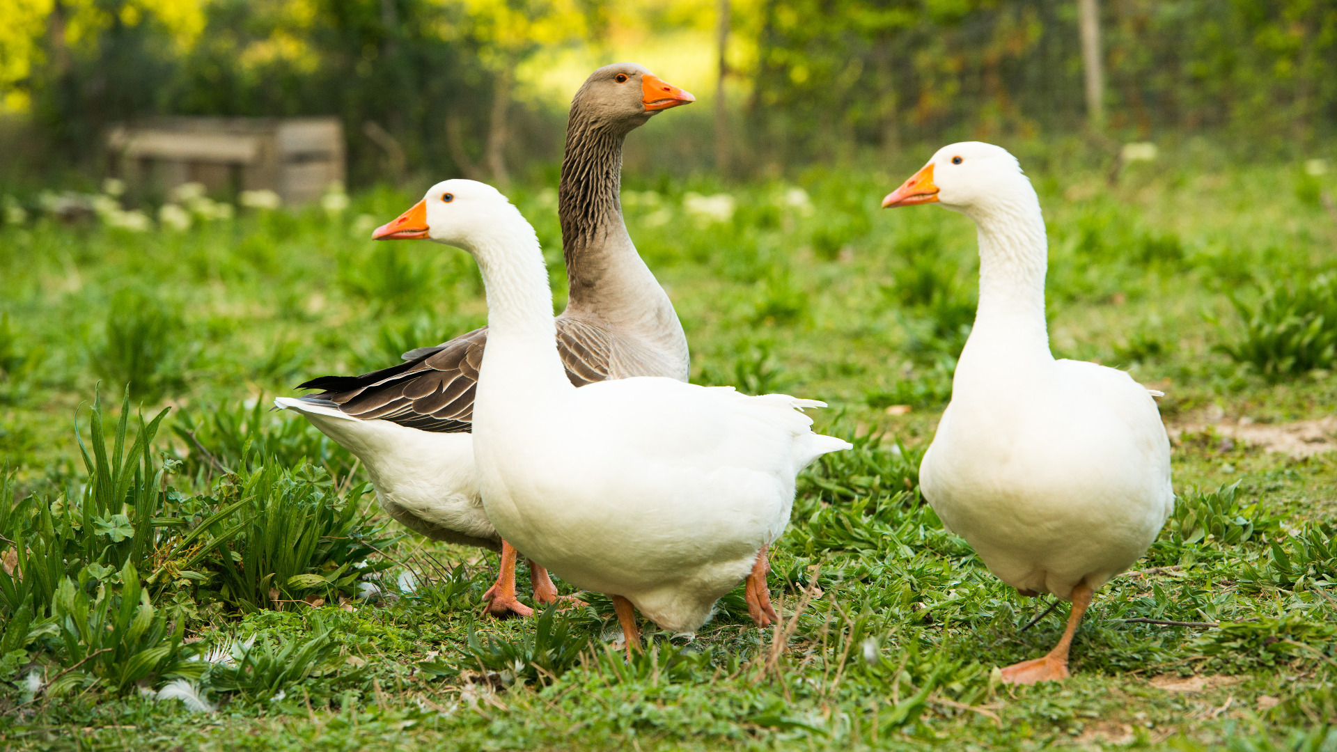 Geese outside in a field